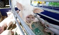 Россия сняла ограничения на поставки свинины с ряда белорусских предприятий
