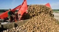 Могилёвская область лидирует по урожайности картофеля в стране.